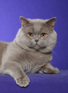 Rejinald Cattery – British Shorthair and Scottish Fold Cats