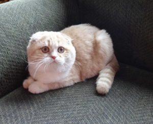 Ca  30 Resultater: Scottish Fold Munchkin Kittens For Sale