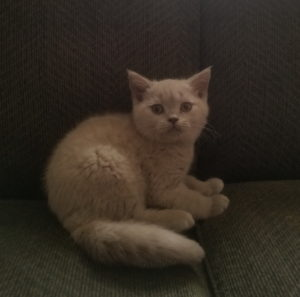 Available kittens – Rejinald Cattery